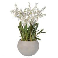 Orchid Flower Arrangement - White Dancing Oncidium Orchid - Round Grey Planter