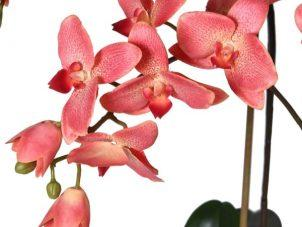 Orchid Flower Display - Dark Pink Orchid Plants- Glass Bowl